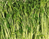 Pea Sprouts (1 lb Bag)